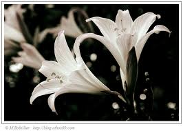 lys-blancs